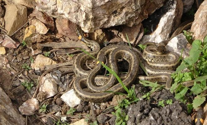 Burası Doğu İllerimizden biri; Sürü halinde güneşlenen yılanlar...