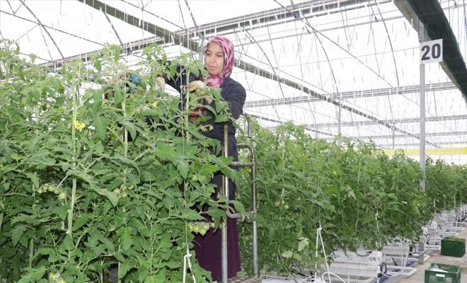 Jeotermal serada domates üretiyorlar