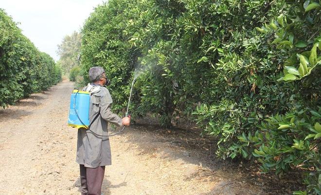 Adana'da Akdeniz meyve sineğiyle mücadele ediliyor