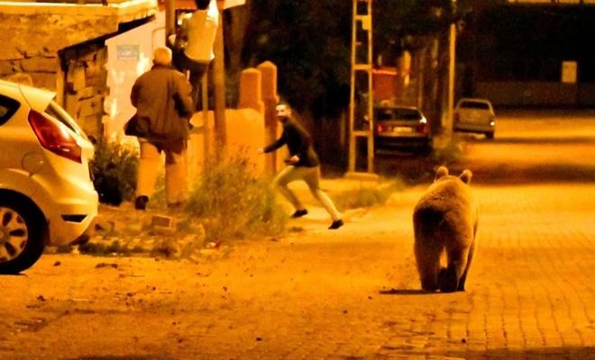 Ayılar şehre indi, vatandaşlar korkuyla direklere tırmandı