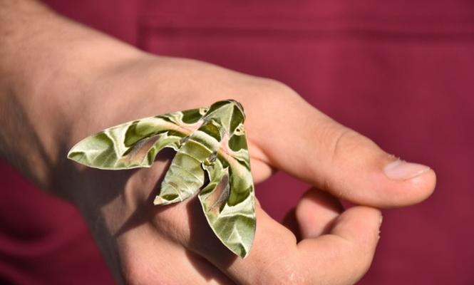 Askeri kamuflaj desenli kelebek Marmaris`te görüldü