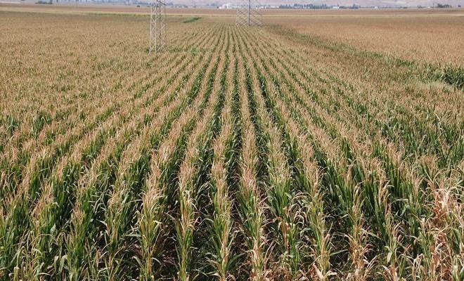Çiftçinin gözü mısır için belirlenecek fiyatta