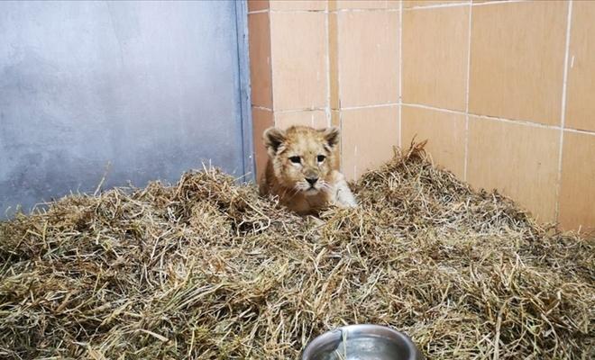 İzmir'deki bir çiftlikte aslan yavrusu bulundu