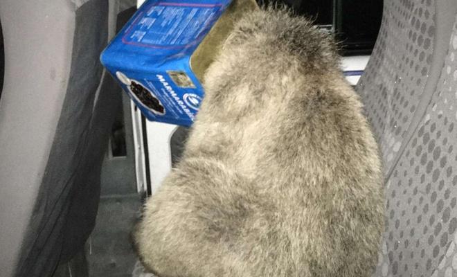 Ağrı'da kafası teneke kutusuna sıkışan ayı kurtarıldı