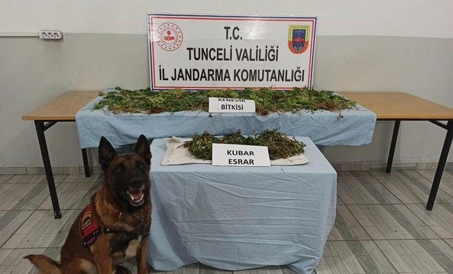 Tunceli'de 1200 kök hint keneviri ele geçirildi