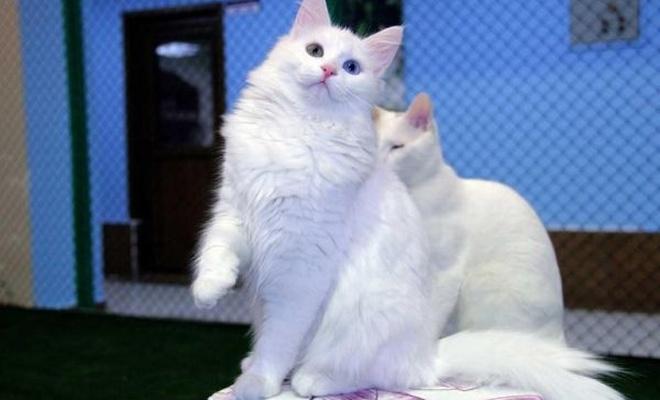 Van kedisi uluslararası yarışmada birinci çıktı