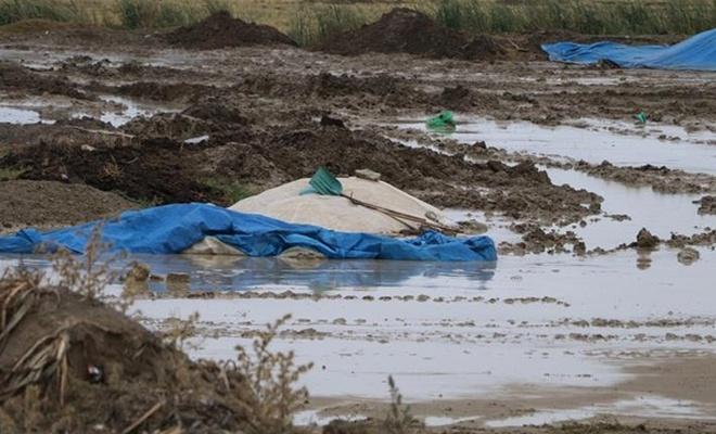 Sağanak 4 bin ton pirince zarar verdi