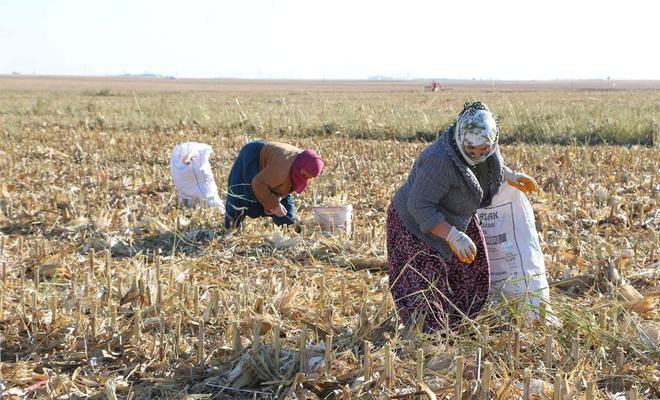 Mardin'de kadınlar kışlık yakacak için mısır sapı topluyor