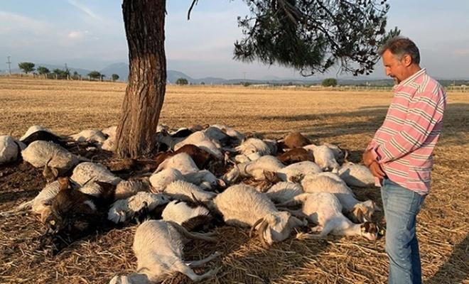İzmir'de yıldırım düşmesi sonucu 51 koyun telef oldu