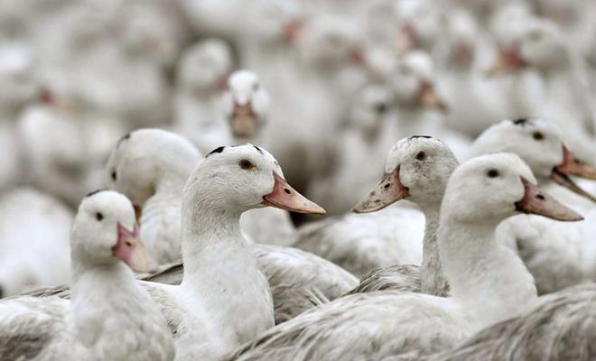 Fransa'da 2 milyon ördek itlaf edildi