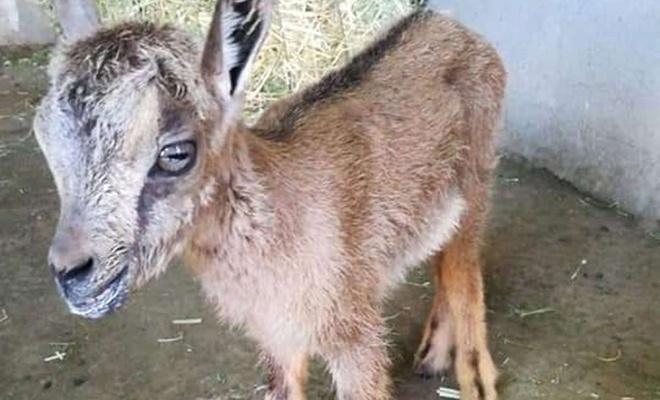 Tunceli'de yaban keçi yavrusu bulundu