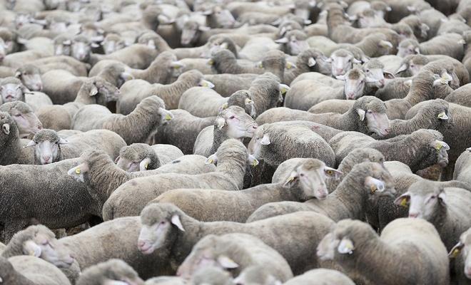 5 bin kuzu satılıktır