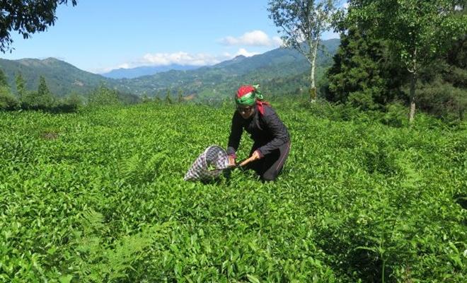 Buğday ve arpadan sonra çay üreticileri zam bekliyor