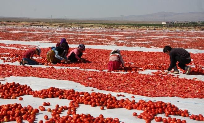 Karacadağ'da üretilen domatesler dünya sofralarında
