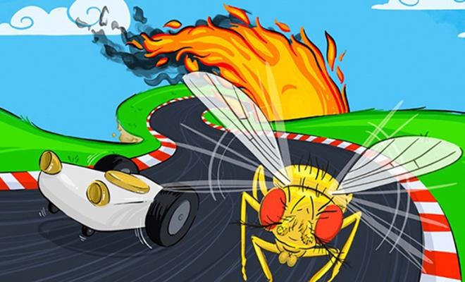 Meyve sinekleri sürücüsüz araçlara ilham olabilir