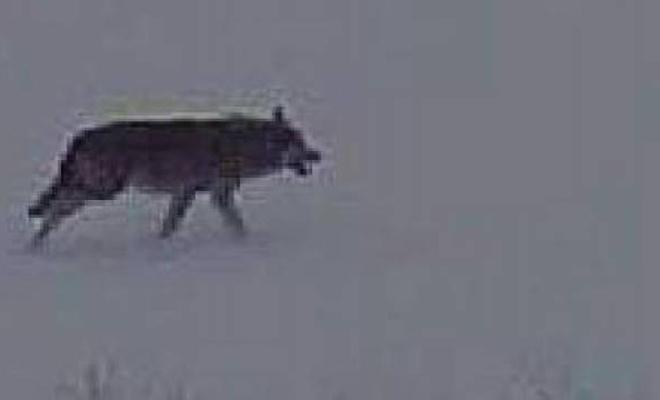Aç kalan kurtlar kangal köpeğini  yedi!