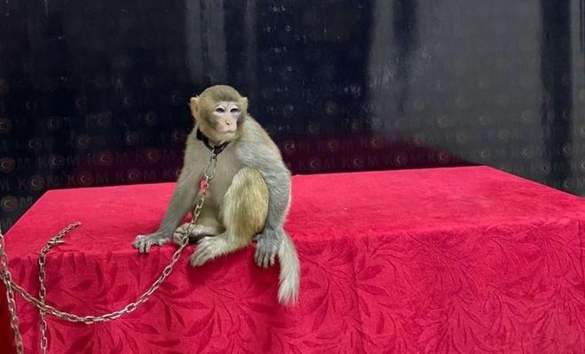 Araçta bulunan makak maymunu koruma altına alındı