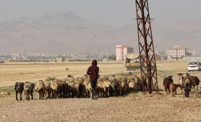 Artan yem fiyatlarına isyan eden besiciler: Hayvanlarımızı satacağız