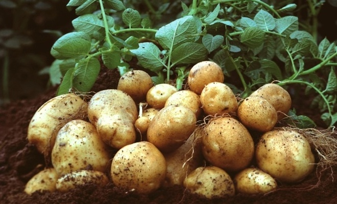 Patates fiyatına `yazlık hasat` freni