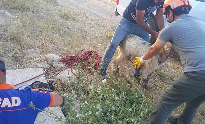 Sulama borusuna sıkışan keçi AFAD tarafından kurtarıldı