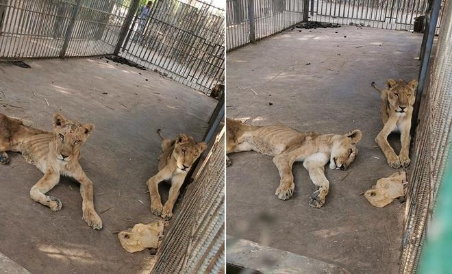 Hayvanat bahçesinde ölüme terkedilmiş aslanlar görüntülendi