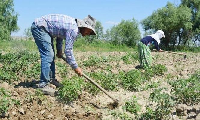Çiftçilerin tarlada Ramazan mesaisi serin saatlerde