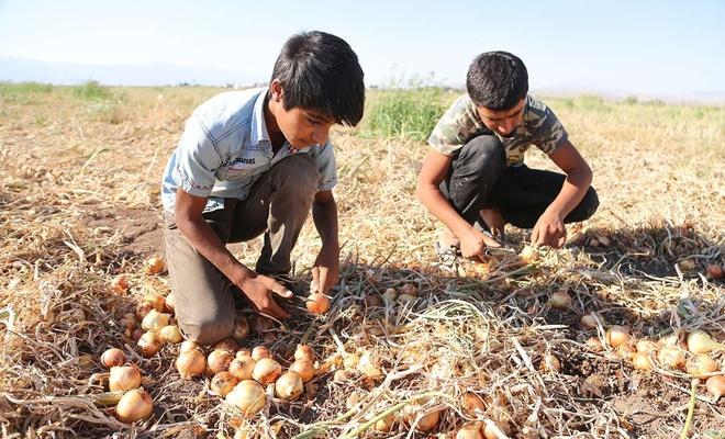 Mevsimlik tarım işçisi olan öğrenciler LGS'ye giremedi