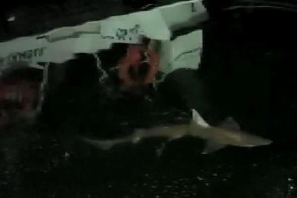 Haliç'te 2 metrelik köpek balığı paniği! Balıkçının oltasına takılmış