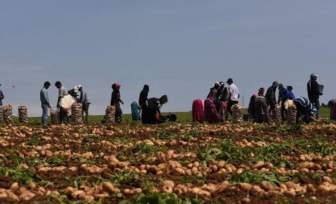Patates ve soğan hasadı başladı, fiyatlar düşecek mi?