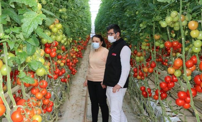 Jeotermal serada, topraksız domates üretimi