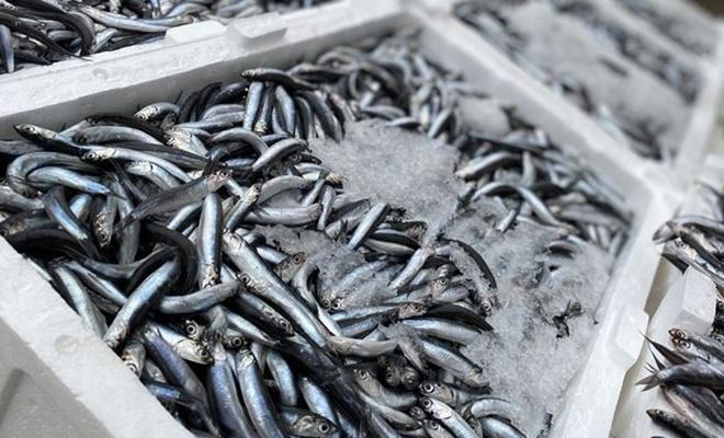 Hamsi avı yasağı uzatıldı
