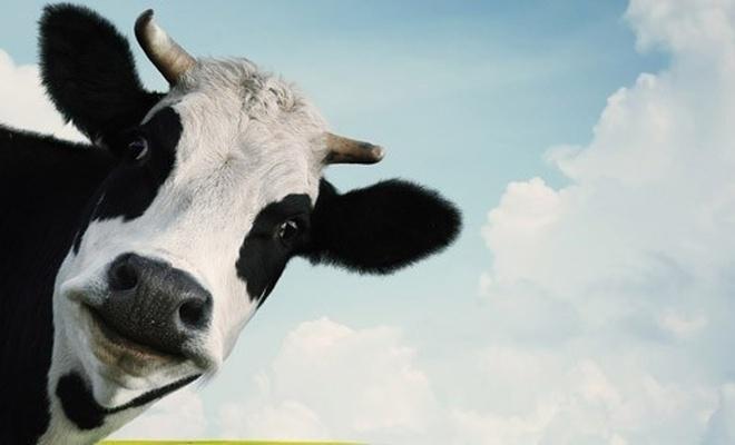 Küresel ısınmanın suçluları: Önce inekler sonra erkekler