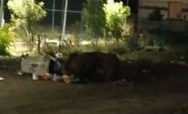 Kars'ta aç kalan ayılar şehir merkezine indi