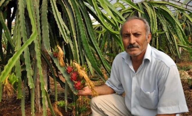 Yarım dönümde örtü altı ejder meyvesi üretiminden 50 bin lira kazanç bekliyor