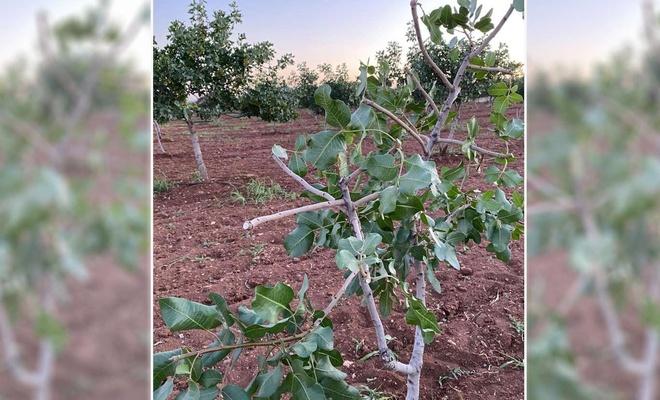 Şanlıurfa'da onlarca fıstık ağacına zarar verildi