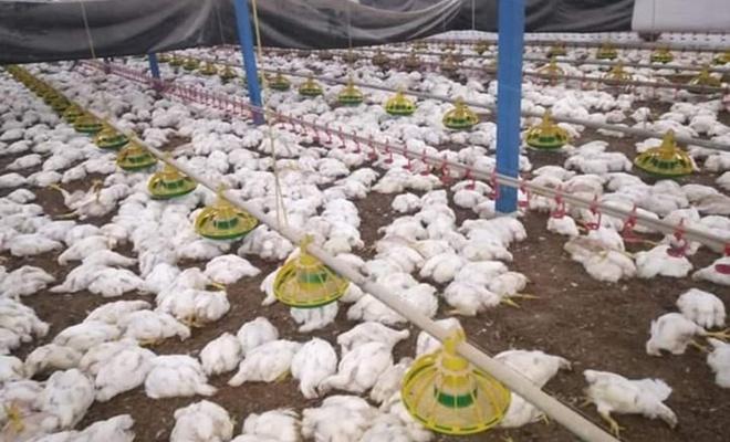 27 bin 500 tavuk telef oldu...
