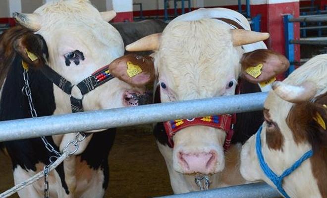 Elde kalan kurbanlıkları Et ve Süt Kuruma alacak
