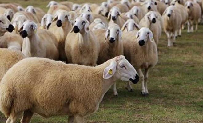 2 bin baş koyunun ihalesi duyuruldu