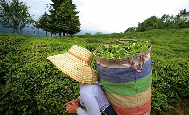 Yerli çay 1,6 milyon dolar kazandırdı