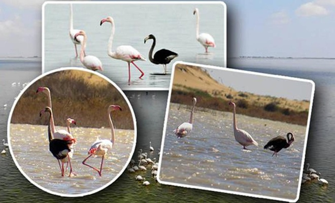 Siyah flamingo 3 yıl aradan sonra Türkiye'de tekrar görüntülendi
