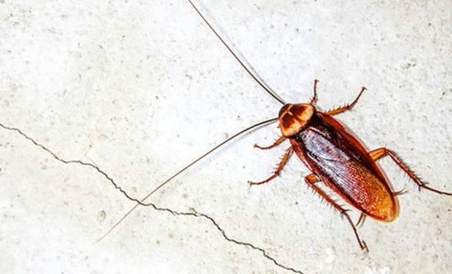 Kakalak böceği nasıl yok edilir? Trabzon'da kakalak böceği istilası
