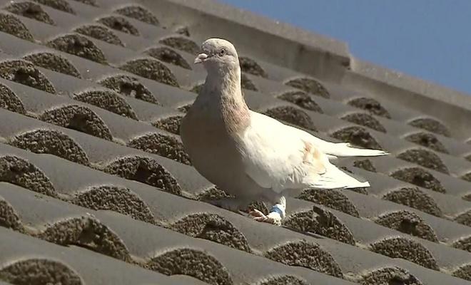 500 bin avro'luk  güvercin telef edilecek