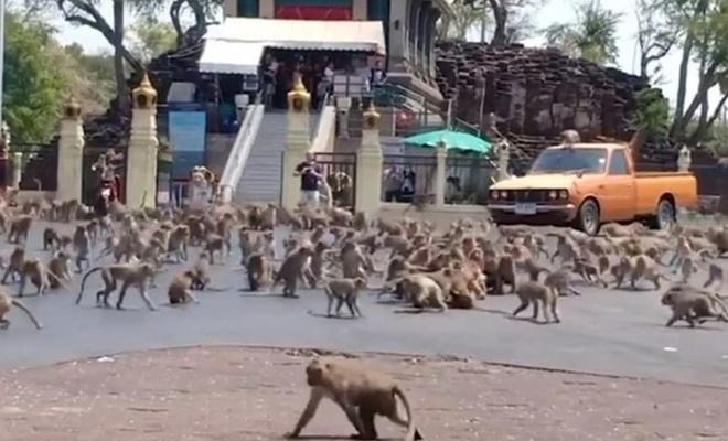 Maymun çeteleri şehir merkezini ele geçirdi