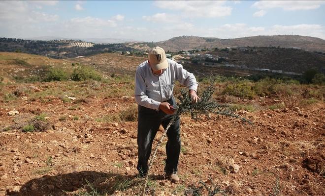 Yahudi işgalciler Filistinlilere ait onlarca zeytin ağacını itlaf etti