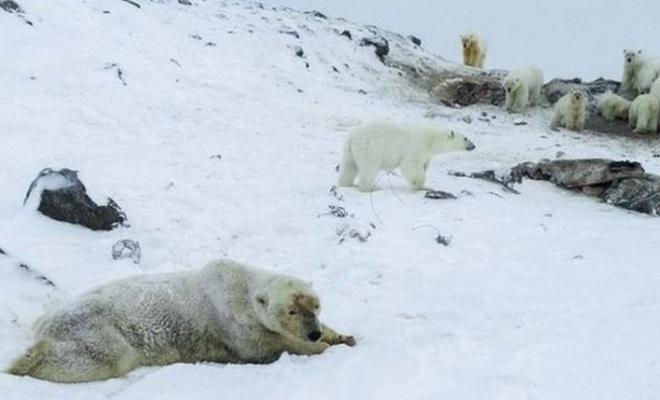 Kutup ayıları köylere indi