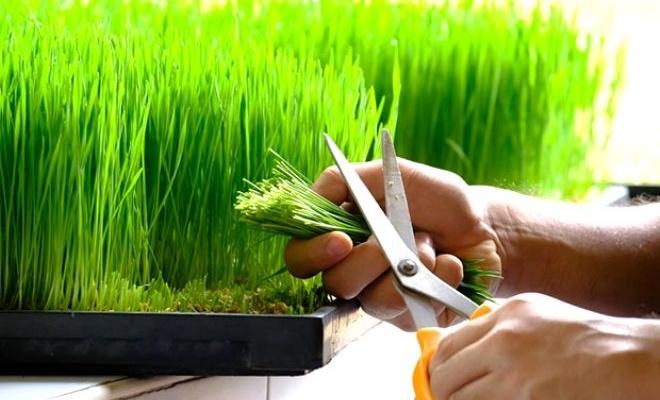 Bağışıklığı güçlendiren yeşil mucize ARPA ÇİMİ
