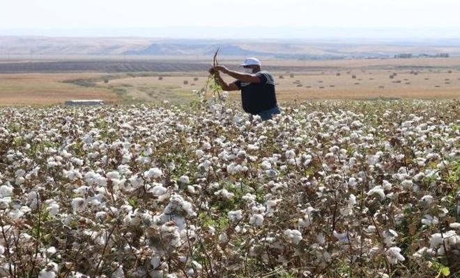 Pamuk hasadı, Diyarbakırlı çiftçinin yüzünü güldürdü